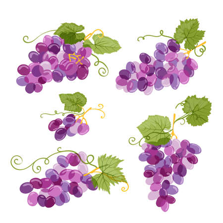 Set of vector grapes illustration isolated on white background. Fresh hand drawn grape with green leaves. Design elements for wine label or packaging. Illustration