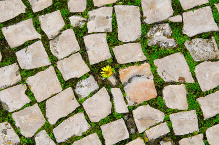 Small yellow flower growing between street tiles. Hope, life struggle and rebirth concept.