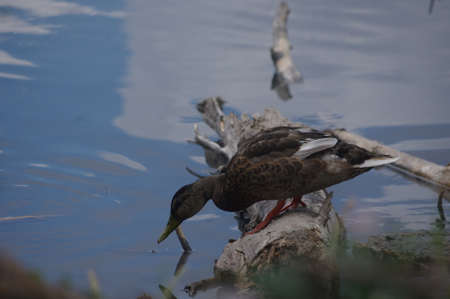 female mallard looking for insects