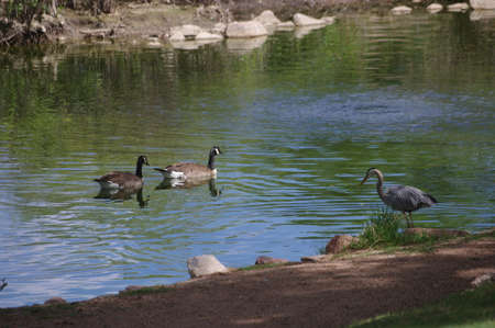 Great Blue Heron and Canada Geese photo