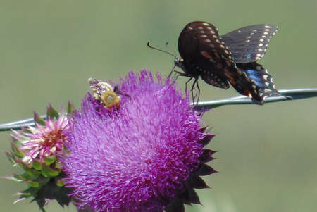 swallowtail: swallowtail and bee on thistle Stock Photo