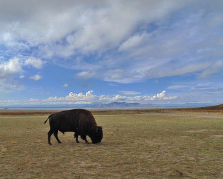 lone: lone buffalo under blue sky and clouds Stock Photo