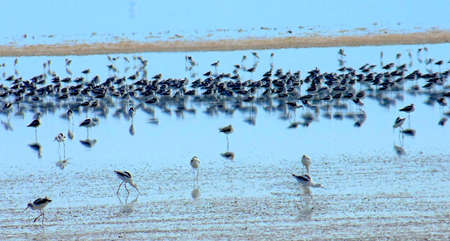 hundreds: hundreds of avocets in bay Stock Photo