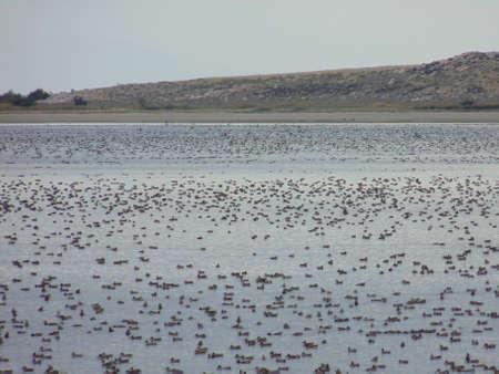 ducks water: Shovelers in bay