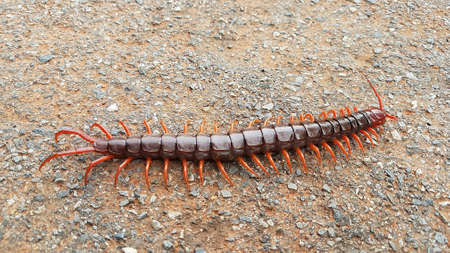 Poisonous centipede. Red centipede. Stock Photo