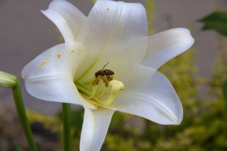 stamen wasp: White lily with bee and pollen Stock Photo