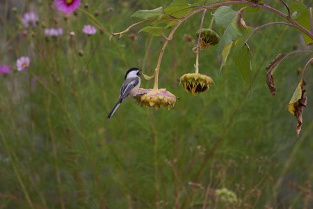 Chickadee on hanging sunflower in front of lavender cosmos photo