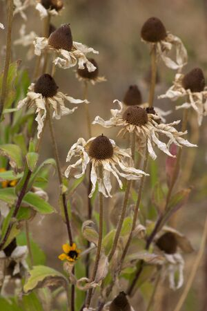 Dried-up black-eyed Susans in fall garden