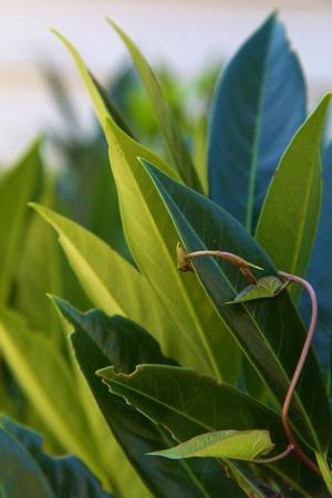 Wasachtige groene haag bladeren met wijnstokken krullen om hen heen Stockfoto - 22236250