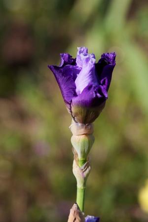 バイオレット ラベンダー アイリスに咲き始めている茎の芽 写真素材