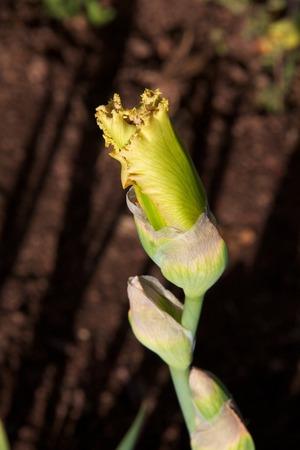 影に対して黄色アイリス芽 写真素材
