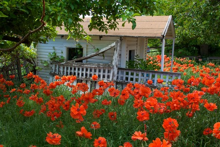 lattice window: Field of orange poppies surrounding white farm cottage with window and lattice Stock Photo