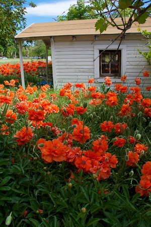 Orange poppies in front of white cottage with window
