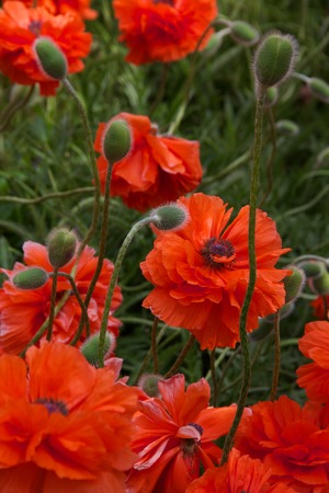 Orange poppies with buds