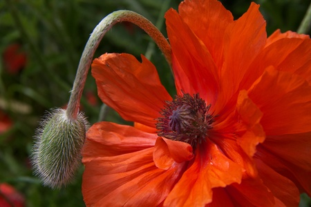 Orange poppy with bud bending down against green background