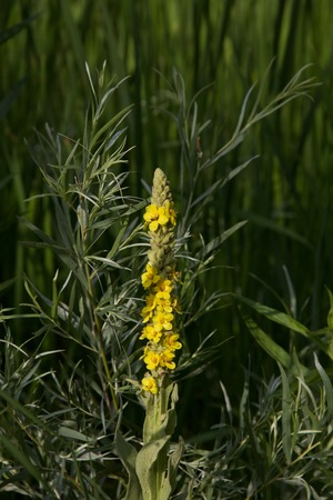 Common mullein spike in bloom against willows and grasses