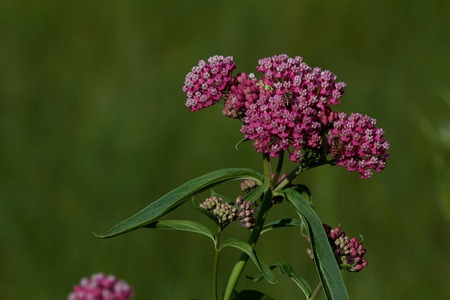 pollinators: Swamp milkweed blossoms with two bees, horizontal