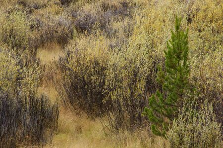 scrub grass: Lone spruce against willow carr, horizontal