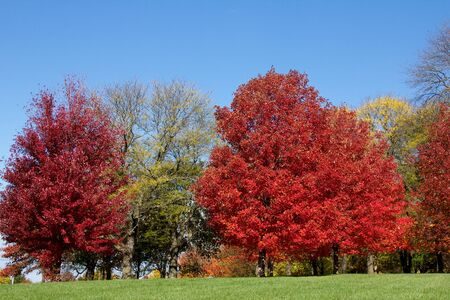 groupings: Garnet red and yellow trees against lawn and sky, horizontal
