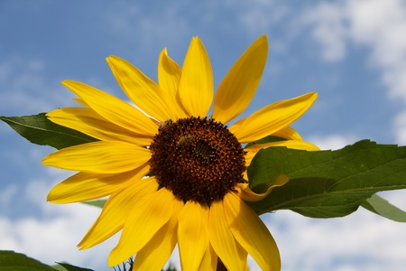 Yellow sunflower with two bees and leaves against blue sky with clouds photo
