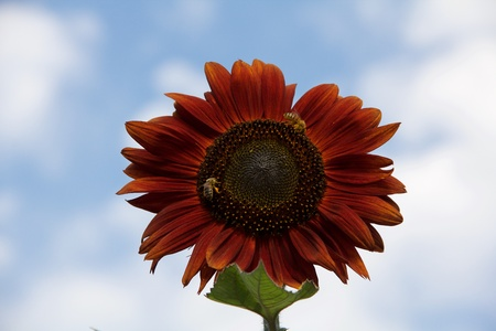 Burgundy-red sunflower with two bees against blue sky with clouds, horizontal photo