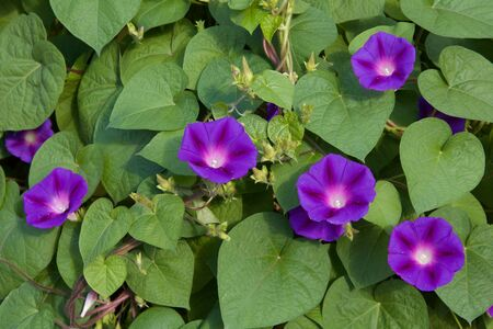 twining: Purple morning glory: a string of flowers against heart-shaped leaves and vines Stock Photo