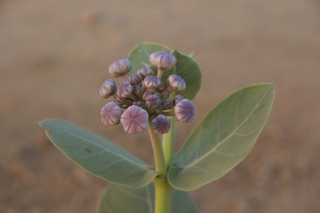 Close-up of Asclepias procera buds and leaves, Tiloniya, Rajasthan, India Stock Photo