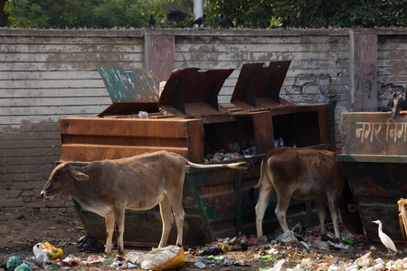 scavenge: Cows and birds feast at dumpsters, Agra, India