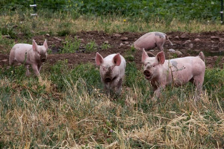 rooting: Three pink pigs with muddy snouts, looking straight out
