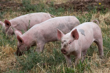 rooting: Three pink pigs, close-up Stock Photo