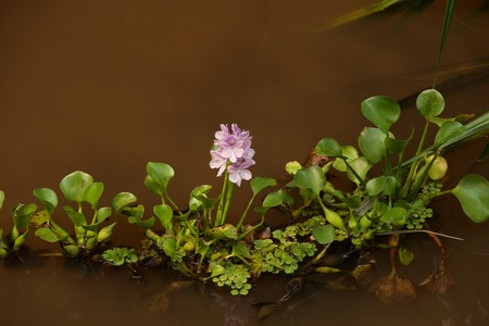Water hyacinth bloom in a coffee-colored river Imagens