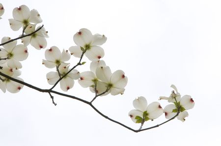 A branch from a dogwood tree with white blossoms.