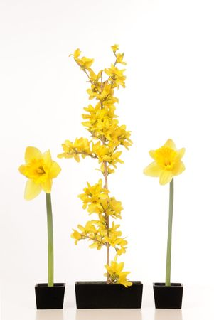Daffodil and forsythia still life against a white background.