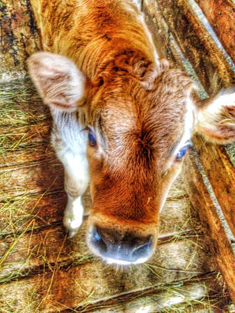print: Cow