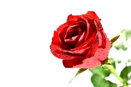 Rose stock images. Red rose on a white background Stock Photo