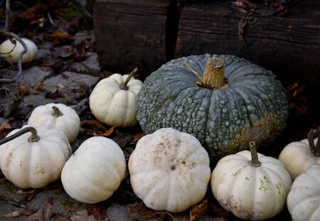 Decoration with white pumpkins stock images. Pumpkins in the garden. Beautiful autumn decoration with pumpkins. Halloween pumpkin decoration. Pumpkins with flowers Stock fotó