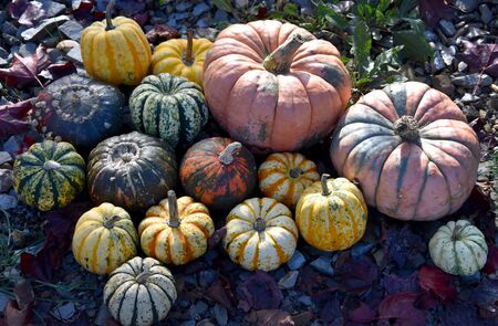Colorful pumpkins decoration stock images. Pumpkins in the garden. Beautiful autumn decoration with pumpkins. Halloween pumpkin decoration