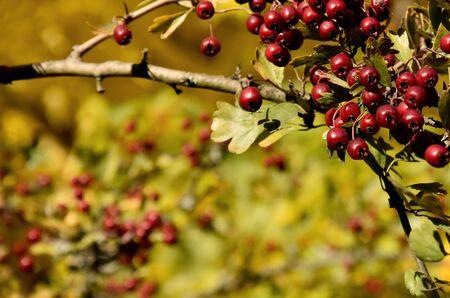Rowan berries autumn background stock images. Rowan berries close-up stock images. Beautiful natural green background. Autumn Rowan pattern Фото со стока - 132369493
