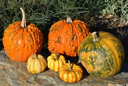 Orange pumpkins decoration stock images. Pumpkins in the garden. Beautiful autumn decoration with pumpkins. Halloween pumpkin decoration