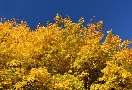 Yellow autumn tree with blue sky stock images. Beautiful Natural Yellow Blue Background. Autumn yellow background. Autumn tree with golden yellow leaves and blue sky stock images Фото со стока - 132369497