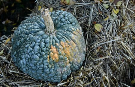 Blue-gray pumpkin decoration stock images. Pumpkin in the garden. Beautiful autumn decoration with pumpkin. Halloween pumpkin decoration. Pumpkin on straw, rural decoration Фото со стока - 132369501