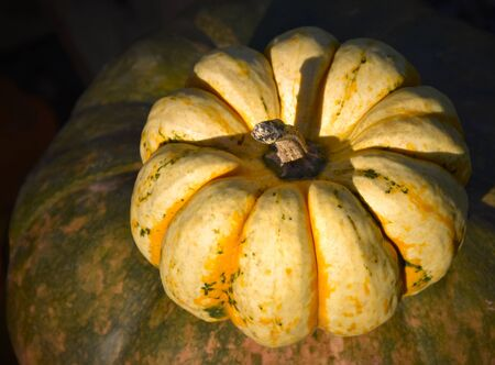 Yellow pumpkin decoration stock images. Pumpkins in the garden. Beautiful autumn decoration with pumpkins. Halloween pumpkin decoration. Halloween rural decoration images