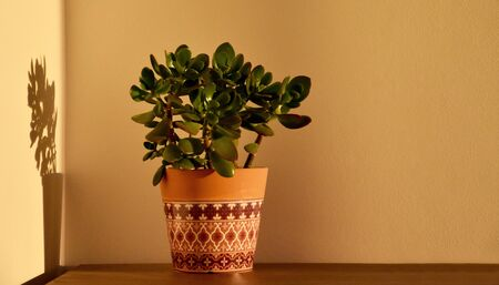 Houseplant in interior stock images. Ugaoo Crassula Ovata Jade Plant stock images. Morning sunrise houseplant stock images. Ornamental ceramic pot. Flower in a pot