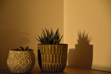 Houseplant in interior stock images. Morning sunrise houseplant stock images. Haworthia fasciata stock photos. Cactus on brown background. Ornamental ceramic pot. Flower in a pot