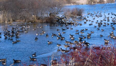 Ducks on frozen river stock images. Frozen river with ducks in Montreal. Beautiful landscape in Canada. Winter urban landscape Imagens