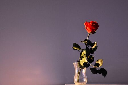 Red rose flower stock photography. Artificial flowers stock images. Rose in the morning light. | Flower on dark background with copy space for text