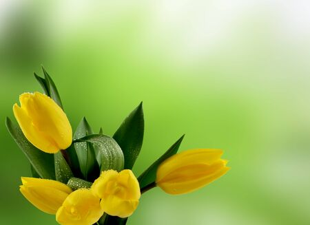 Yellow tulips on green background stock photography. Nature green background with yellow tulips stock images. Green spring background with yellow tulips. Spring background with copy space for text
