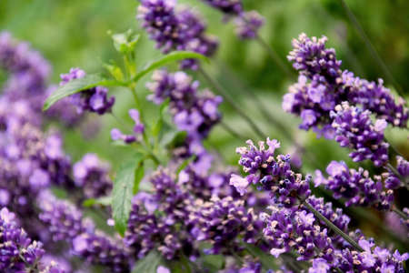 Beautiful fresh purple lavender plant stock images. Summer floral background. Flower bed with lavender images. Fragrant floral background