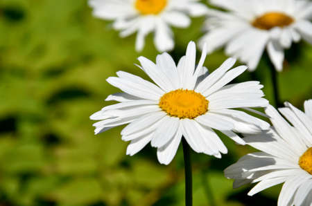 Large white daisies stock images. Beautiful daisy stock images. Large daisy on a fresh green background