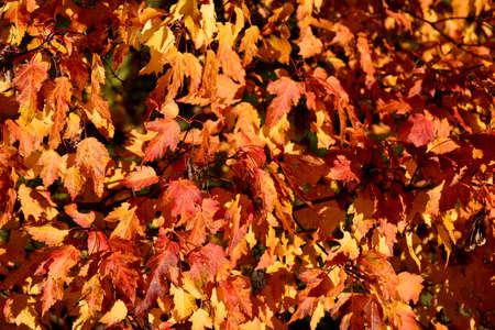 Autumn orange leaves beautiful background stock images. Orange yellow autumn background photo. Beautiful autumn background with colorful leaves stock images